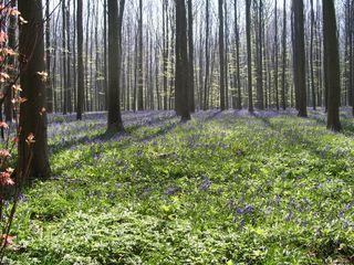Belgium Hallerbos hyacinths