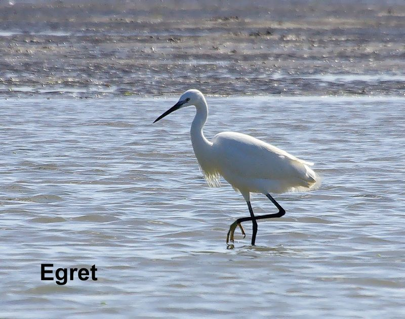 TALIM Merga Egret