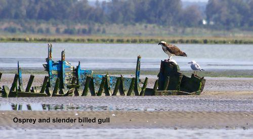 TALIM Merga Osprey and slender billed gull